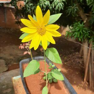 flores-jardim